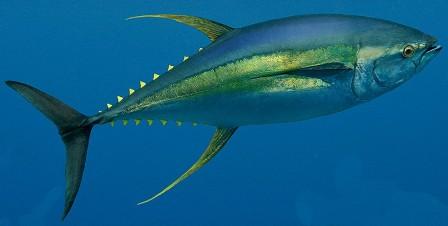 Ahi tuna and mako shark foodie knowledgefoodie knowledge for Ahi tuna fish